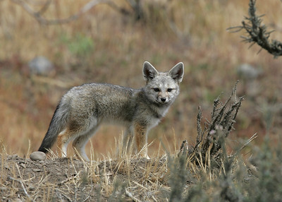Fox cub (Pseudalopex culpaeus) - vos - near Torres del Paine (Chile)