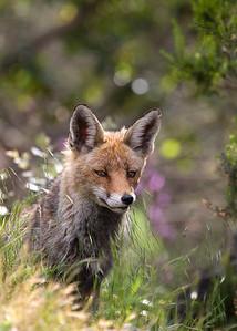 Fox (Vulpes vulpes) - vos - Monfrague Park (Spain)