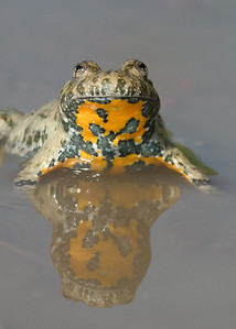European fire-bellied toad (Bombina bombina) - roodbuikvuurpad, near Trybsz (Poland)