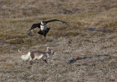 Arctic fox (Vulpes lagopus) attacked by a Parasitic Jaeger (Stercorarius parasiticus) - Svalbard