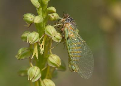 Cicadetta montana - Torgny (Belgium)