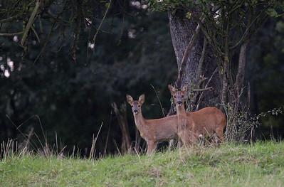 Roe deer (Capreolus capreolus) - ree - near Durbuy (Belgium)