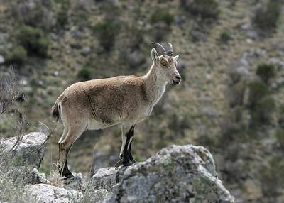 Spanish Ibex (Capra pyrenaica) - Spaanse steenbok - Sierra de Gredos (Spain)