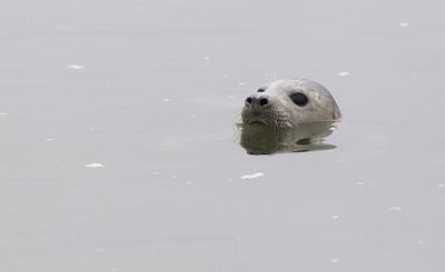 Grey seal (Halichoerus grypus) - grijze zeehond - Ythan River (Scotland)