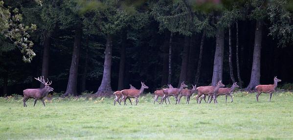 Red deer (Cervus elaphus) - edelhert - near Durbuy (Belgium)