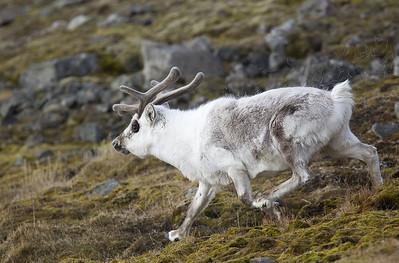 Svalbard reindeer (Rangifer tarandus platyrhynchus) - Spitsbergen rendier  (Svalbard)