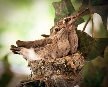 Hummingbird Chicks (different edit)