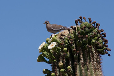 White-Winged Dove on Blooming Saguaro Cactus