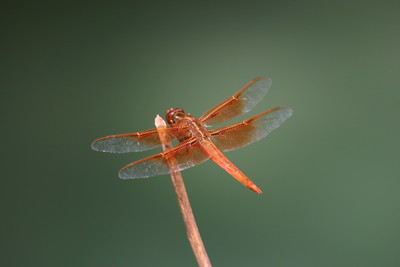 Orange Dragonfly Above Havasu Canyon Waters