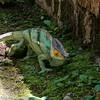 Parson's Chameleon, Scientific Name: Calumma parsonii, Location: Madagascar