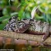 Panther Chameleon, Scientific Name: Fucifer pardalis, Location: Madagascar