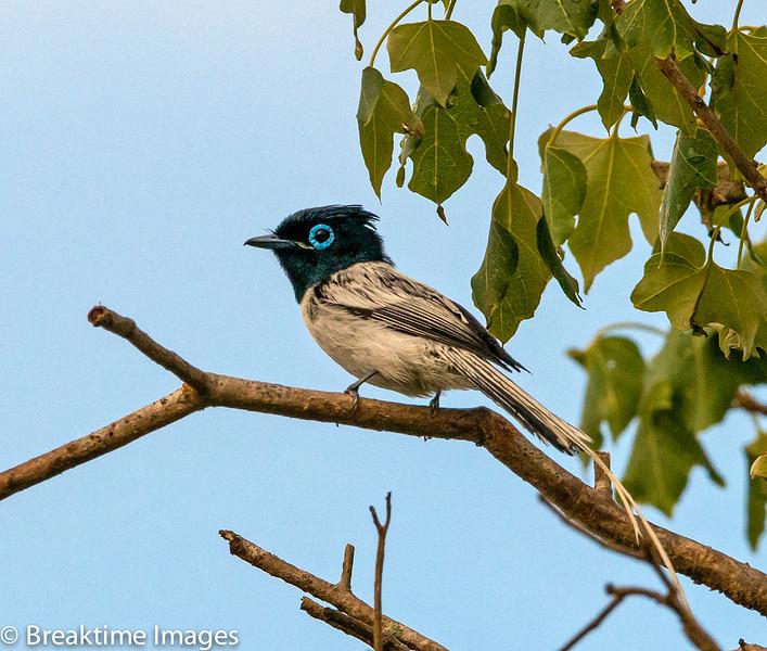 Madagascar Paradise Flycatcher, Scientific Name: Terpsiphone mutata, Location: Madagascar