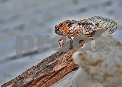 January, 2013 (posted), September, 2011 (taken)  An Oklahoma Cicada - up close & personal.
