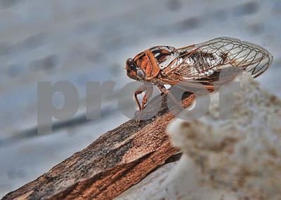 Oklahoma Cicada