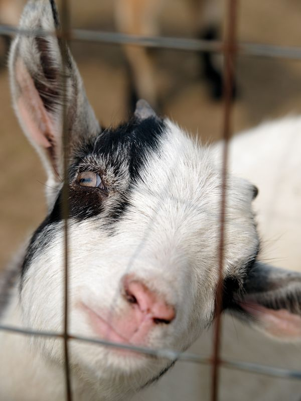 A cute baby goat hams it up for the camera.