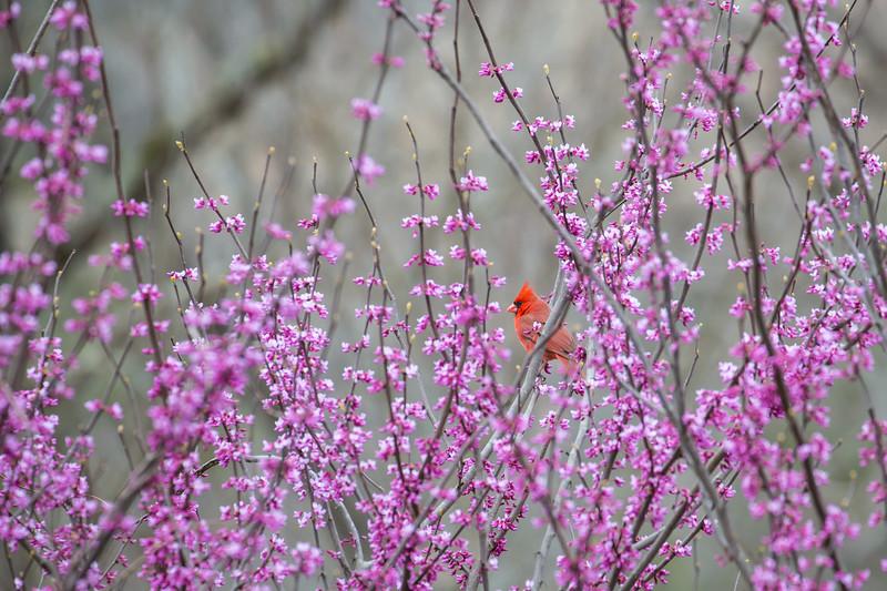 Springtime Cardinal