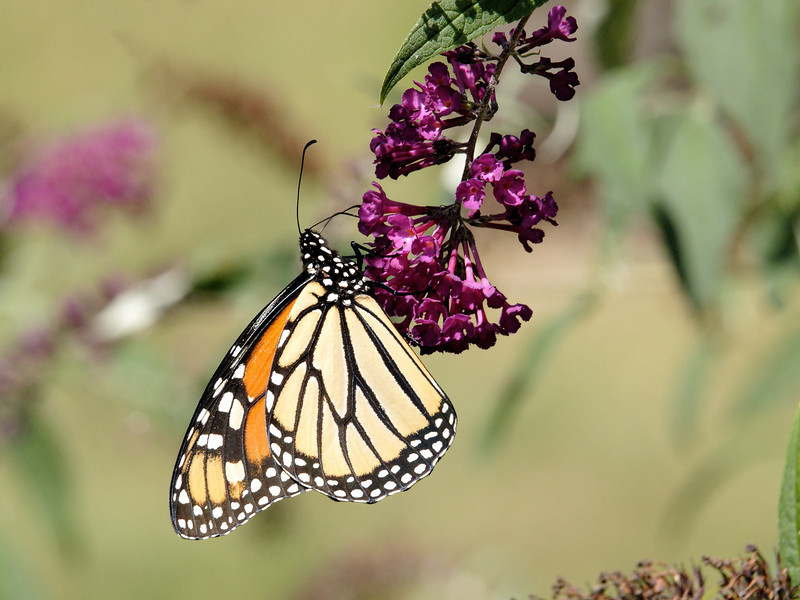Monarch Butterfly (Danaus plexippus) feeding on a Butterfly Bush blossom while on migration in early September.