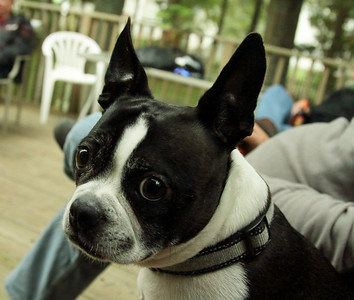 Riley, the Boston Terrier