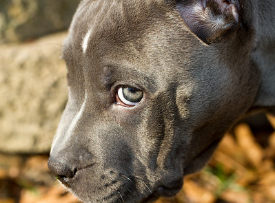 """IMG#7761  """"LANA"""" 2 month old Pit-Bull pup"""