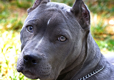 """IMG#9404  """"LANA""""...6 month old Pit Bull """"puppy"""""""