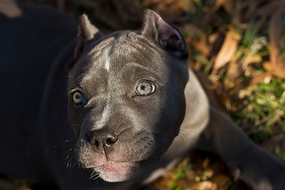 """IMG#7745  """"LANA"""" 2 month old Pit-Bull pup"""