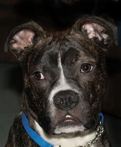 IMG#6742 Deisel...American Bulldog