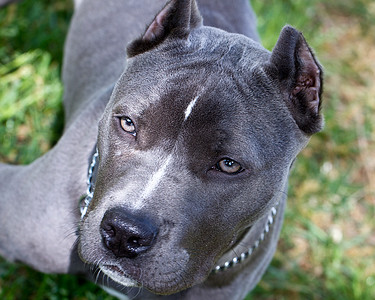 """IMG#9409  """"LANA""""...6 month old Pit Bull """"puppy"""""""