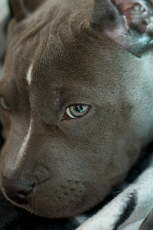 """IMG#7819  """"LANA"""" 2 month old Pit-Bull pup"""
