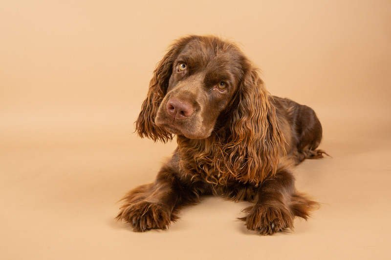 Sweet Sussex Spaniel Puppy