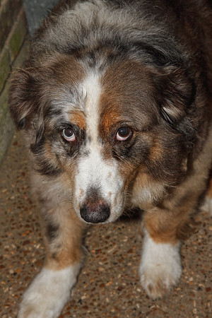 """Odd-Eyed Louisiana Cattle Dog"""