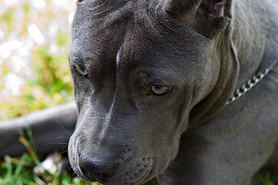 """IMG#9399  """"LANA""""...6 month old Pit Bull """"puppy"""""""
