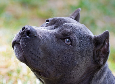 """IMG#9401  """"LANA""""...6 month old Pit Bull """"puppy"""""""