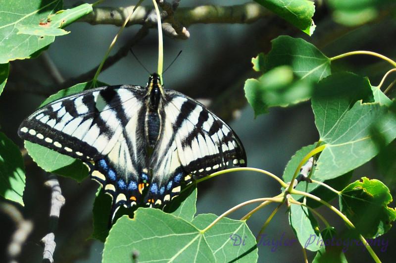 Swallow Tail Butterfly in Poplar Tree
