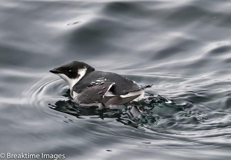 Dovekie (little auk), Scientific Name: Alle Alle, Location: Long Harbour, Newfoundland