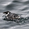 Thick-Billed Murre,  Scientific Name: Uria lomvia, Location: Ferryland, Newfoundland