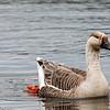 Graylag Goose, Location: South Brigus, Newfoundland