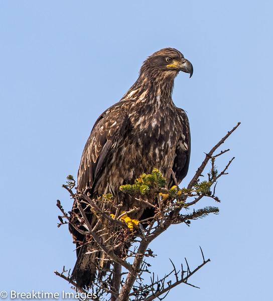 Bald Eagle (female), Scientific Name: Haliaeetus leucocephalus, Location: Newfoundland