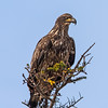 Bald Eagle (female), Scientific Name: Haliaeetus leucocephalus, Location: Newfoundland