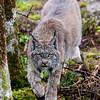Canada Lynx, Scientific Name: Lynx canadensis, Location: Newfoundland