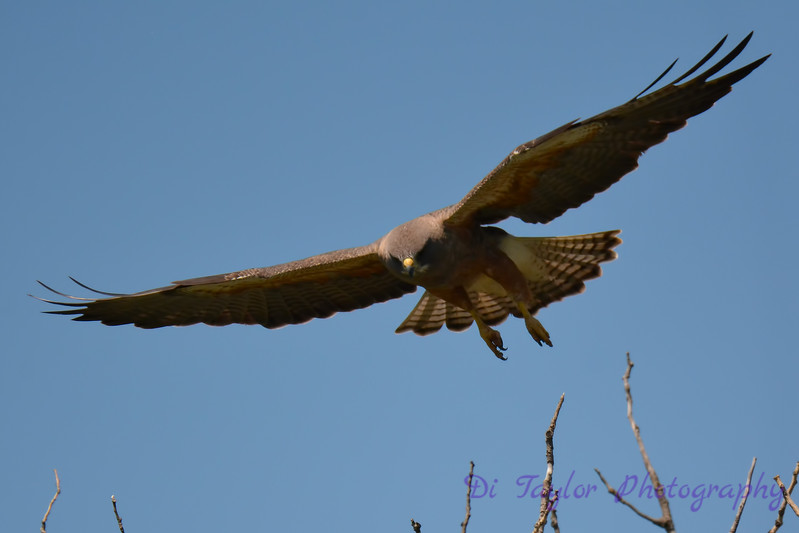 Swainsons hawk in flight