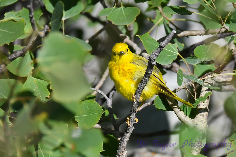 Yellow Warbler male July 15 2018
