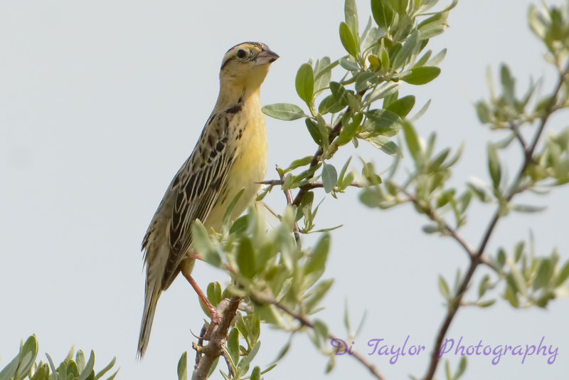 Bobolink female  in tree 2