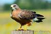 Swainson's Hawk 6