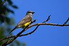 Western Kingbird July 13 2018