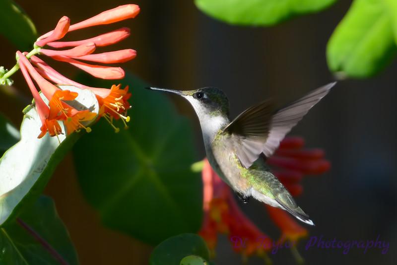 Female Ruby Throated Hummingbird 2015 6