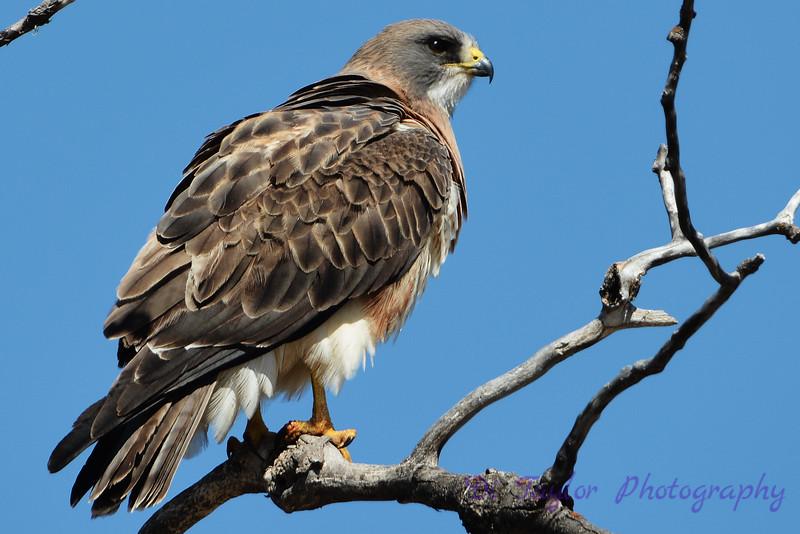 Swainson Hawk 1