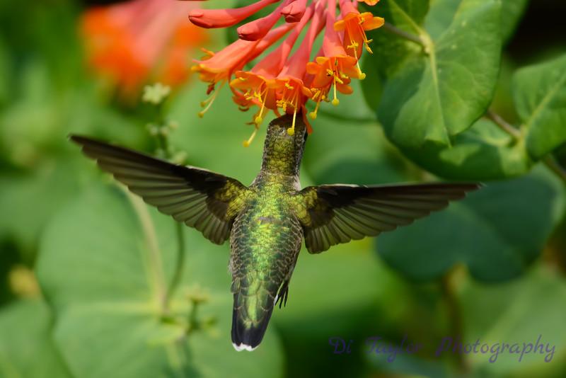 Female Ruby Throated Hummingbird in Honeysuckle Trumpet Flowers 36