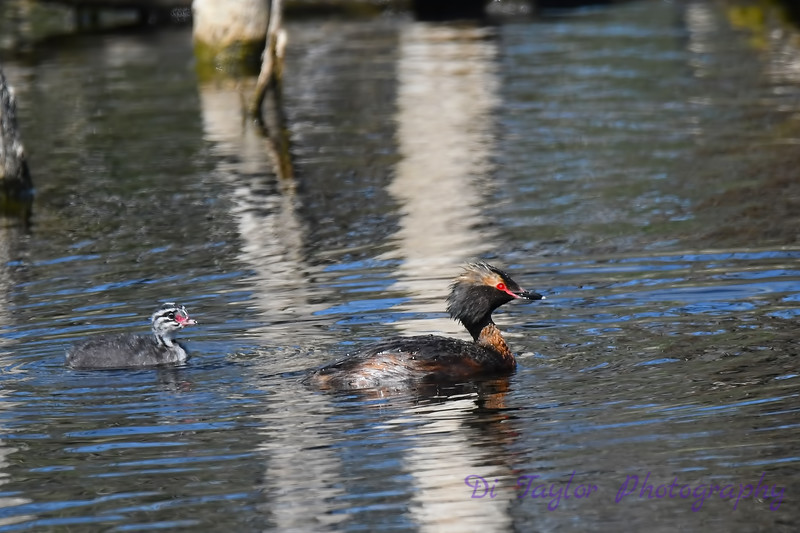 Horned Grebe with baby July 2 2018