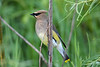Cedar Waxwing July 19 2020