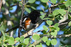 Spotted Towhee 2  7 Jul 2019